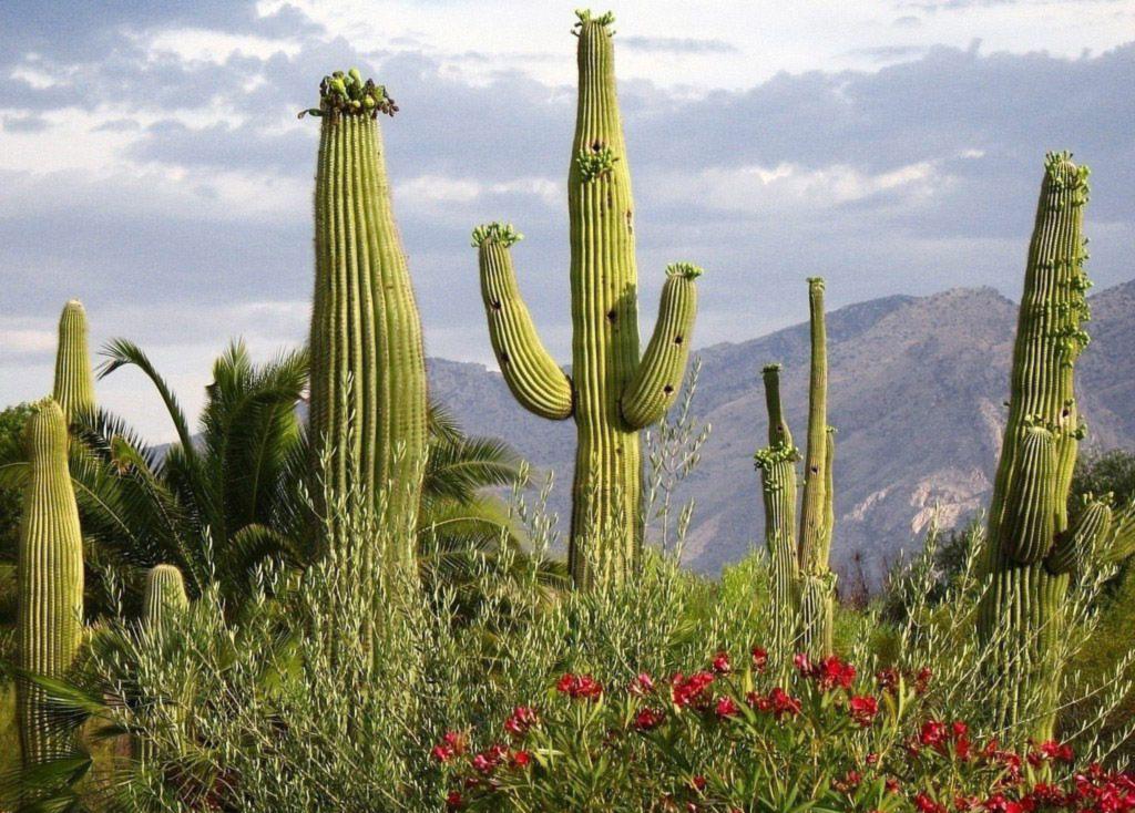 кактусы фото в природе