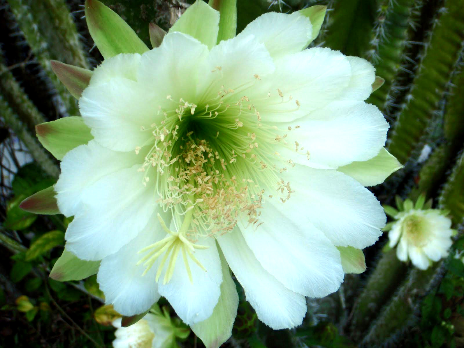 фото цветения кактусов с названиями кто