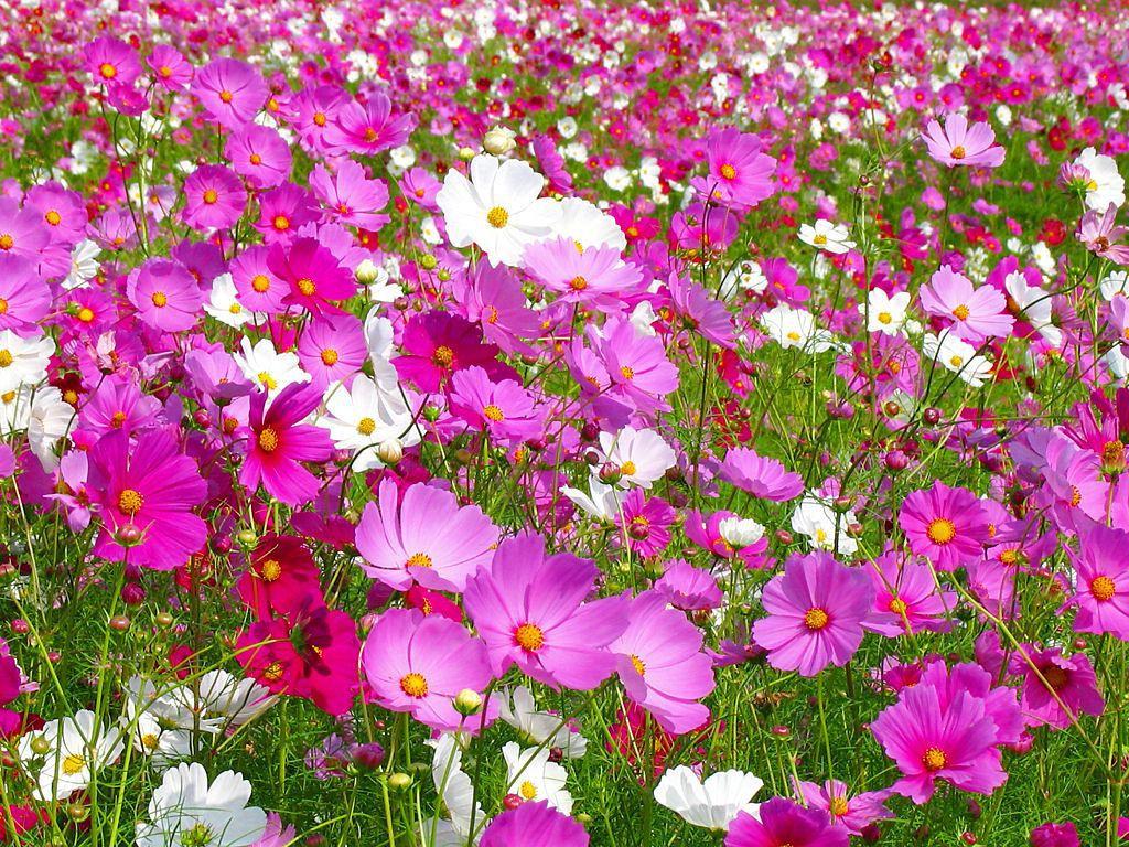 Красивые фото цветов космея