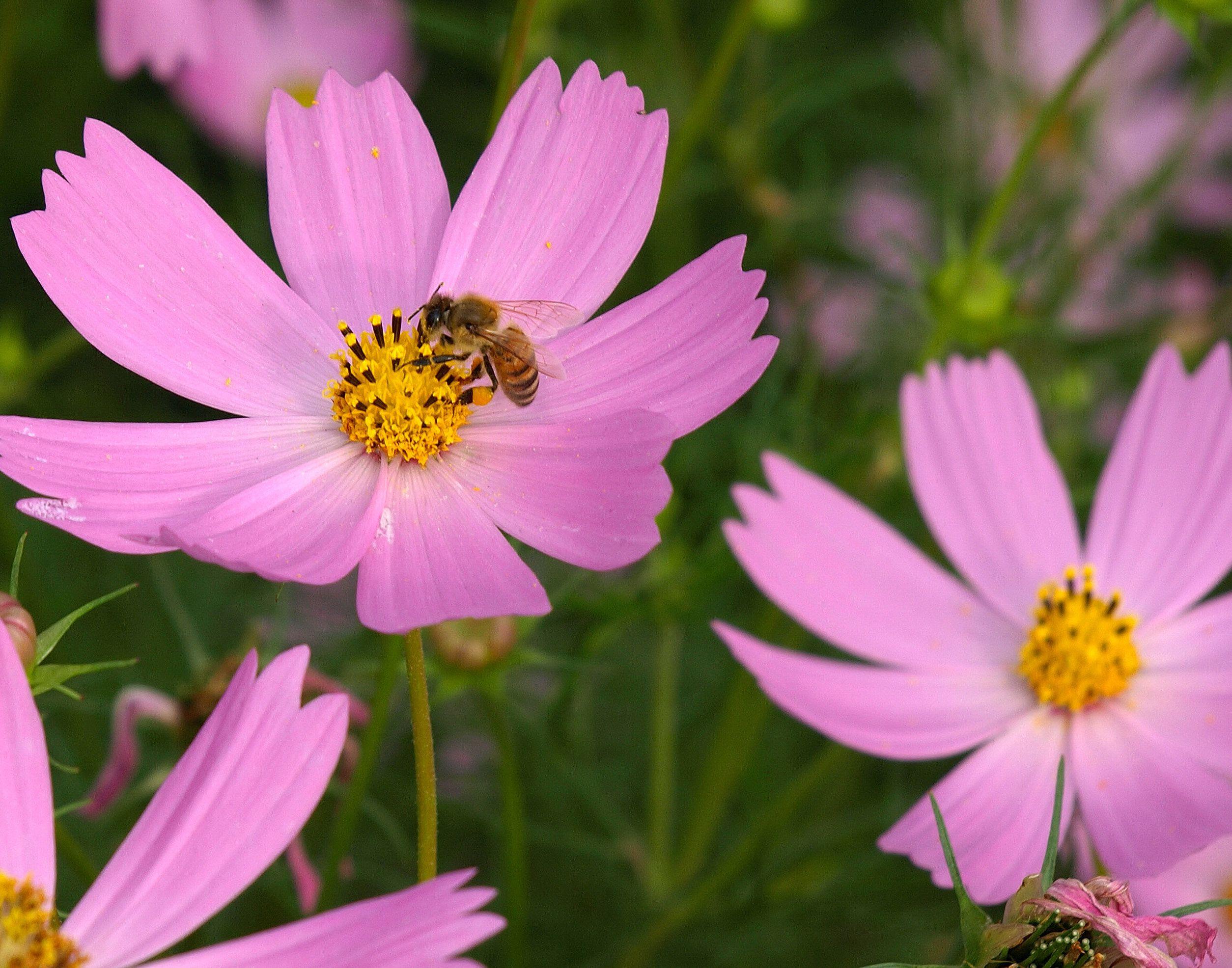 Картинка цветы космея