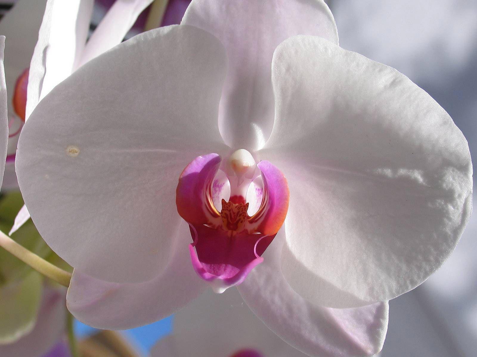 Сорта орхидеи картинки