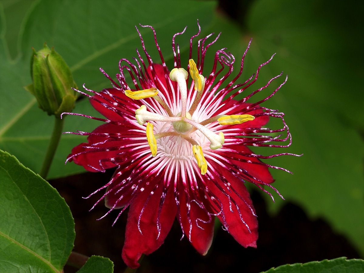Фото цветов пассифлора