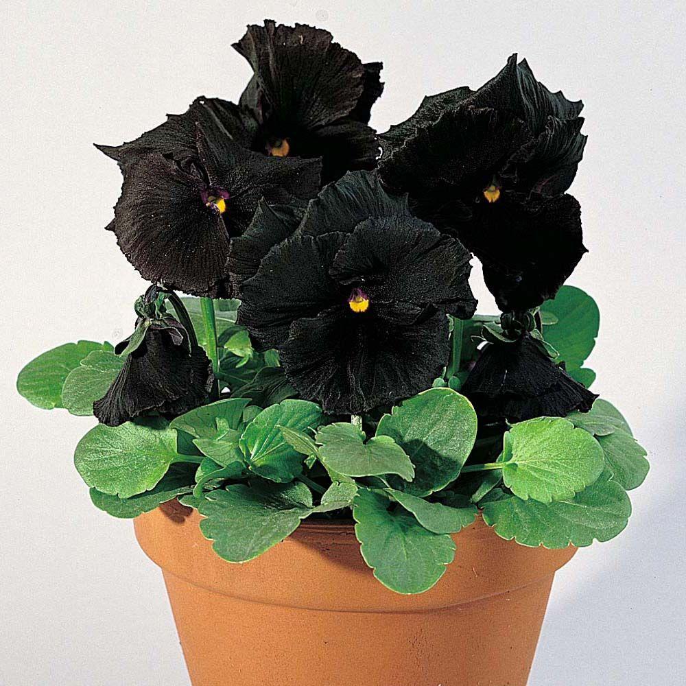 цены товары цветы черного цвета фото и названия все умеют просыпаться