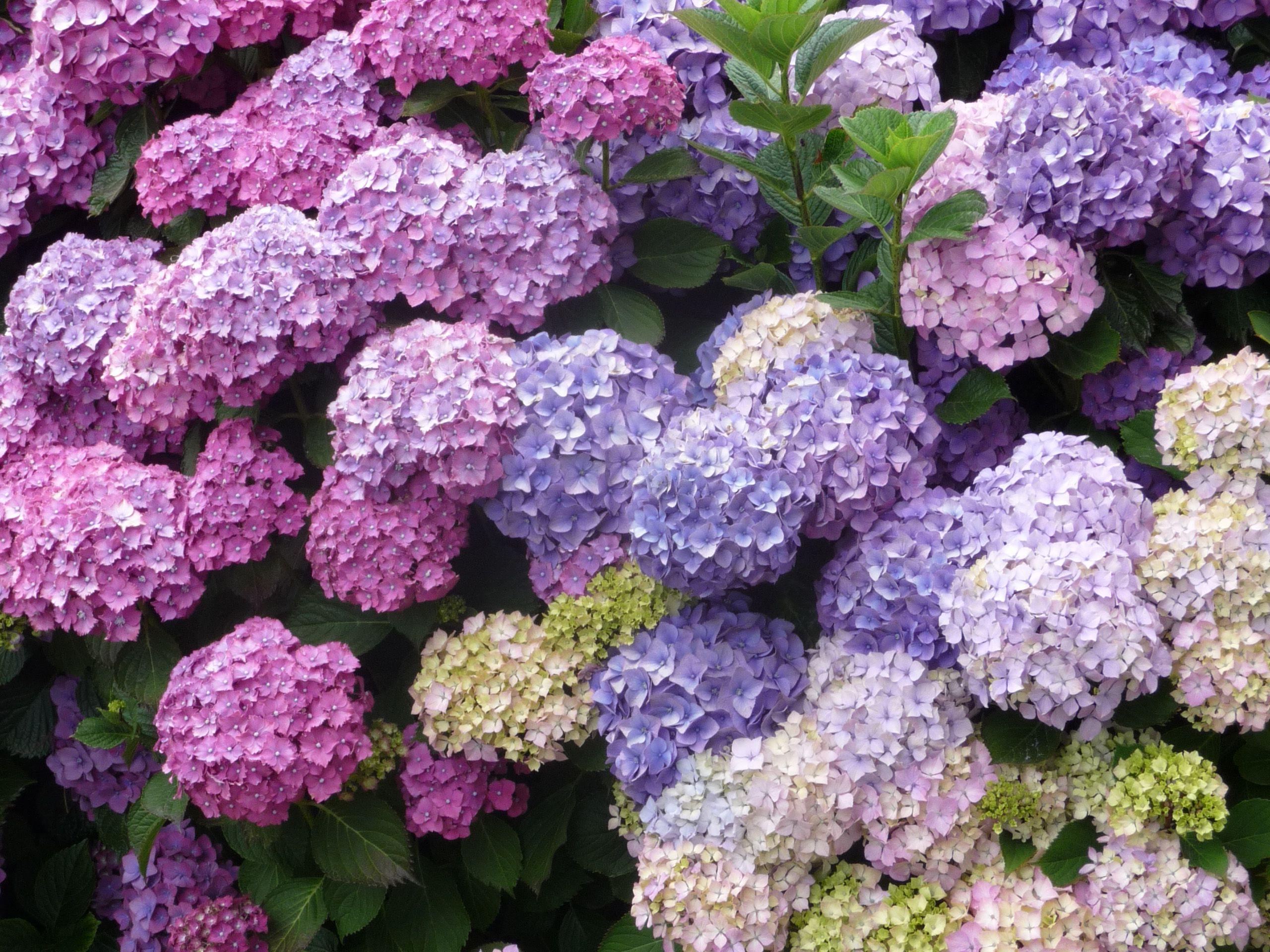 Кустовые садовые цветы фото и названия