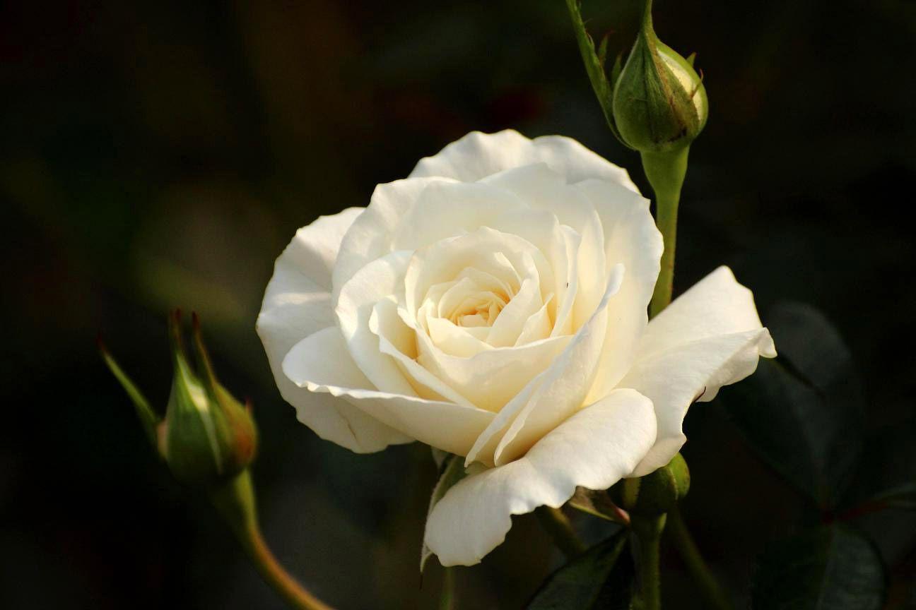 является картинка белы бутон розы подходит