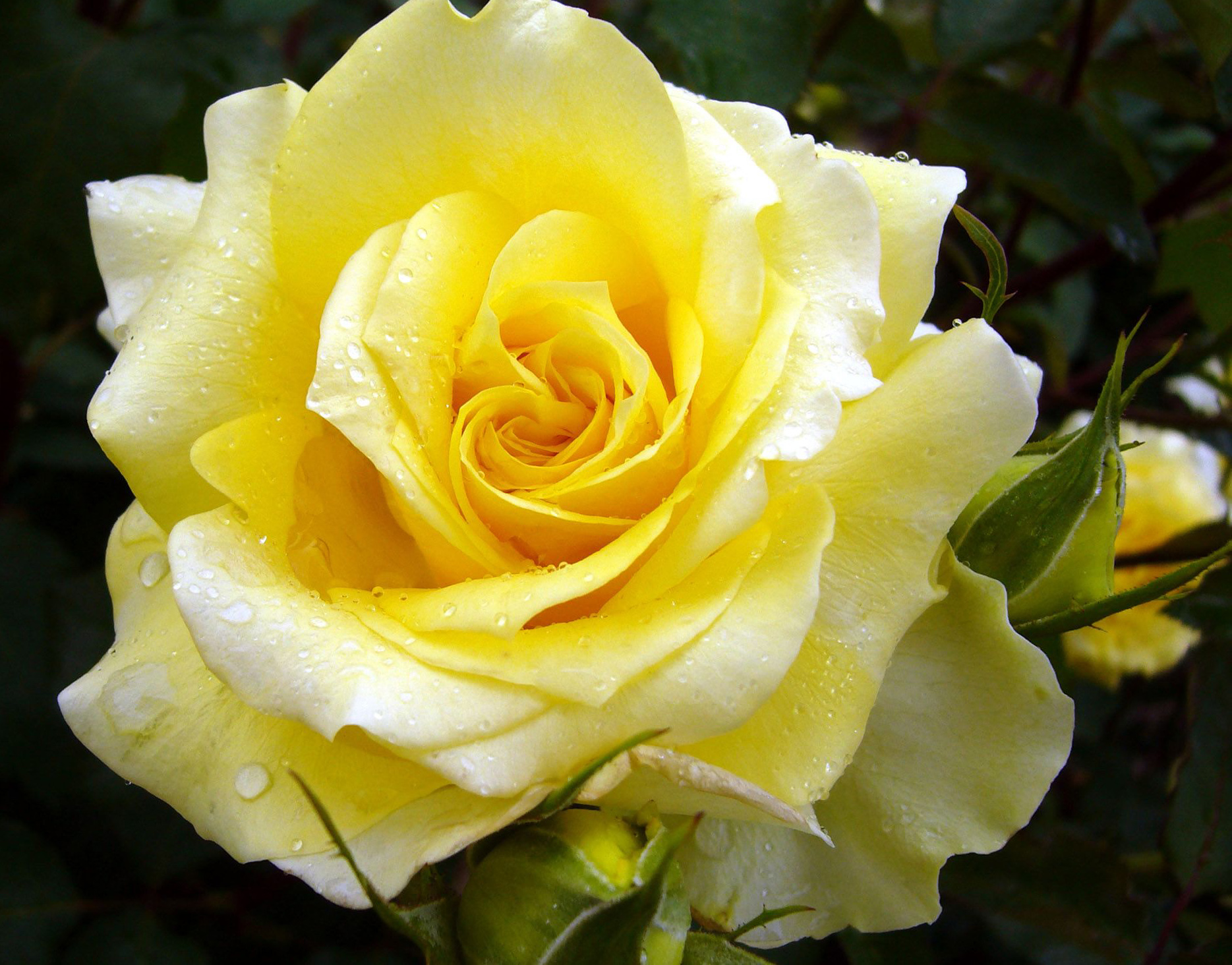 сорта желтых роз с фото и названиями зима темными, холодными