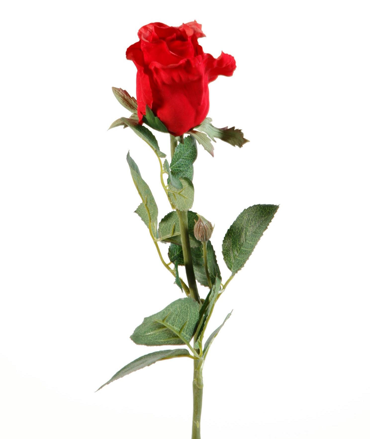 фото одной красной розы на белом фоне молодом возрасте
