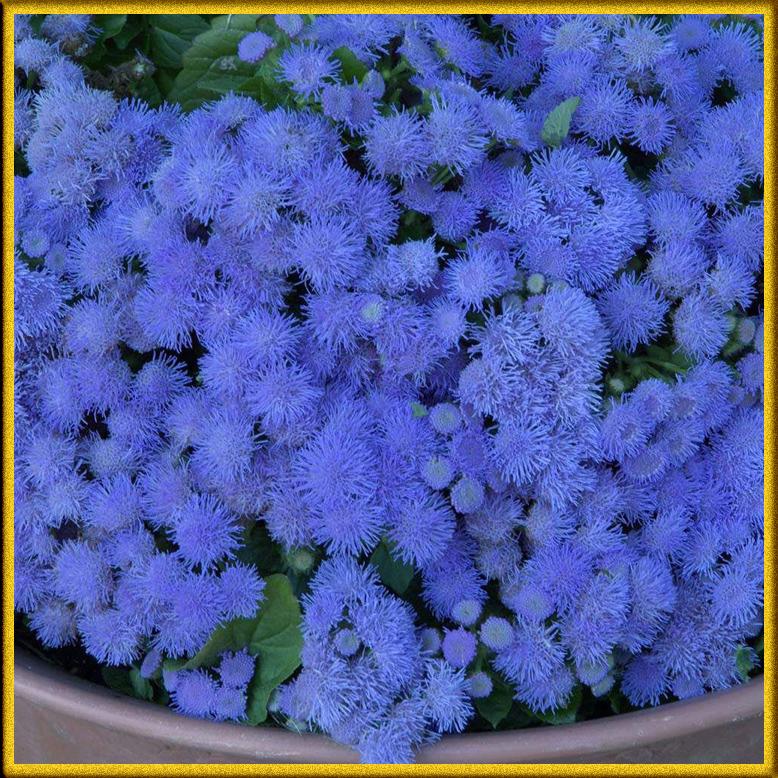 фото цветов многолетников с названиями низкорослые роял форест