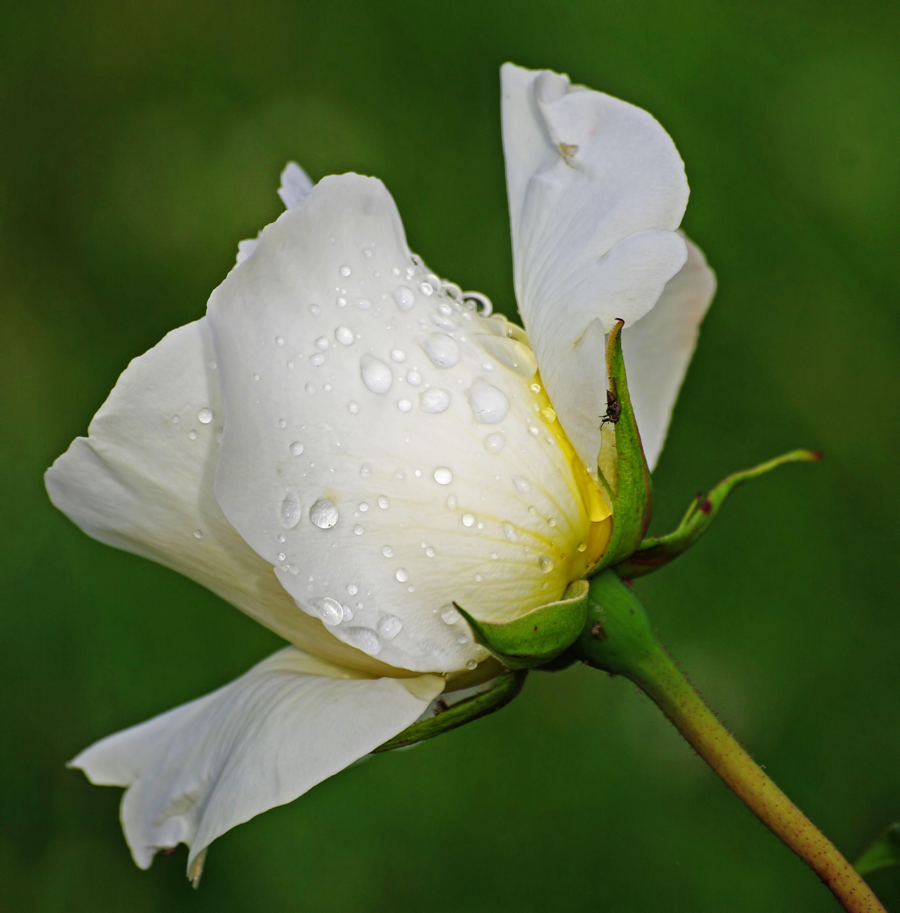 старой картинка белы бутон розы велотренажер