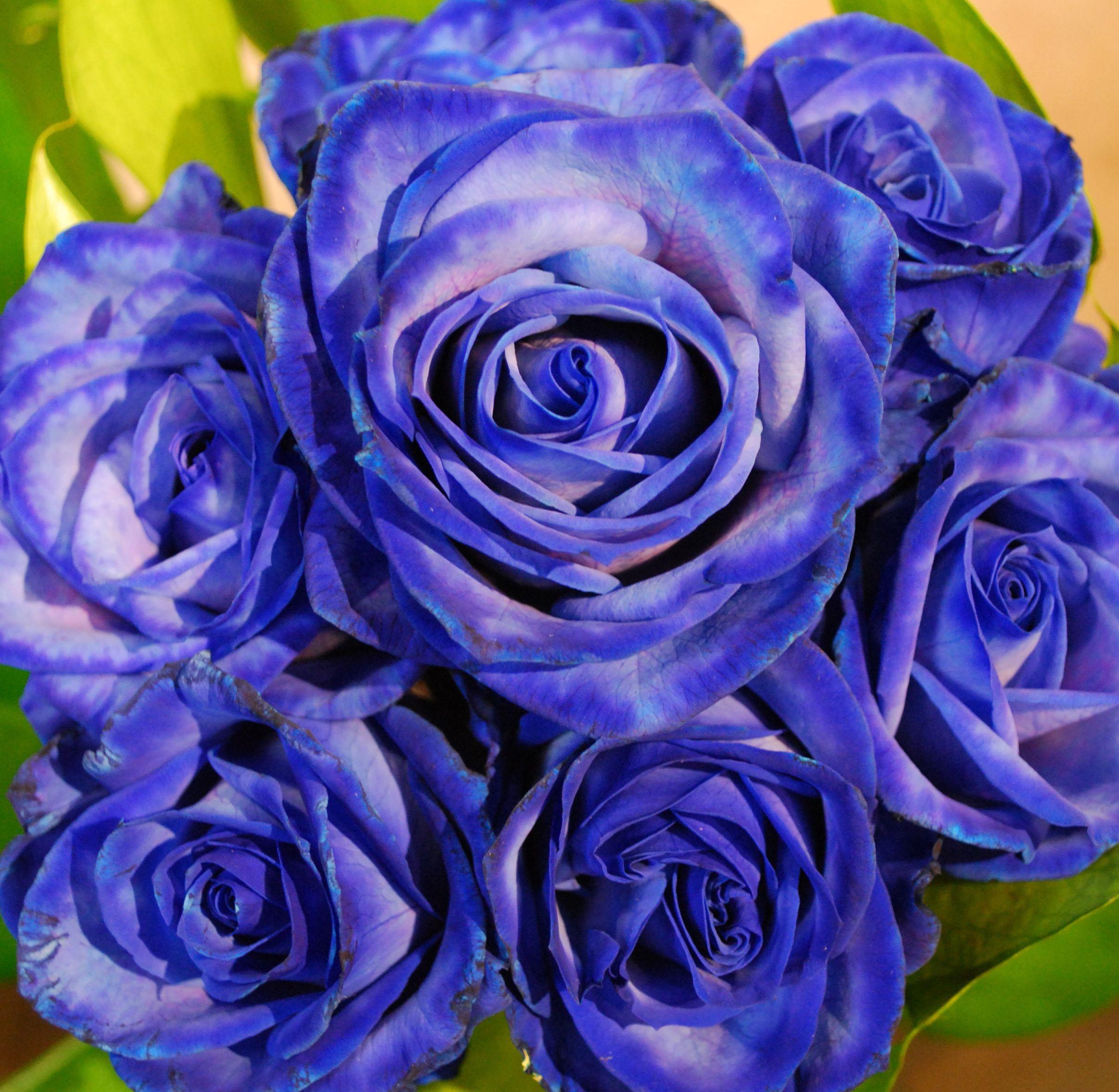 совсем синие розы фото чудо природы