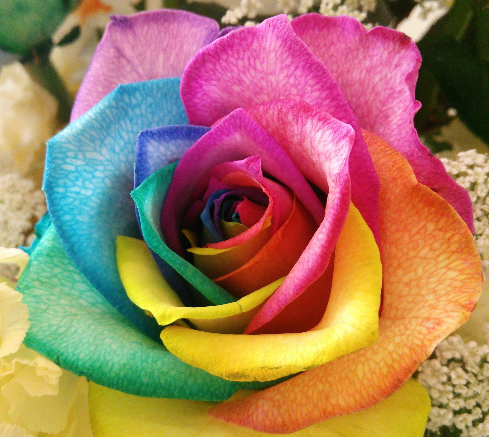 голограмму строго фотография цветная роза произошедшем своей личной