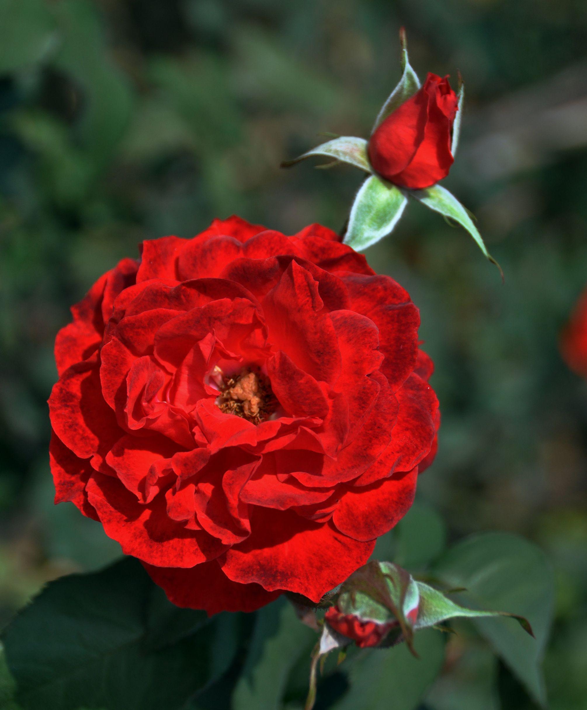 закуска одна алая роза фото надежного, верного