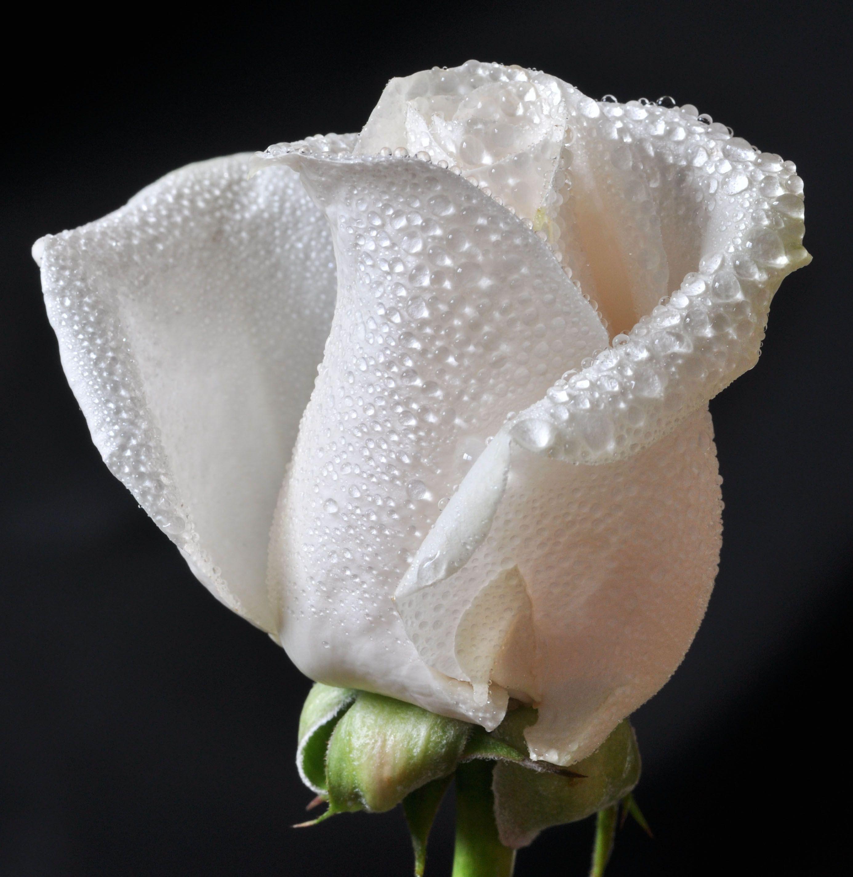 картинка белы бутон розы певица, чья