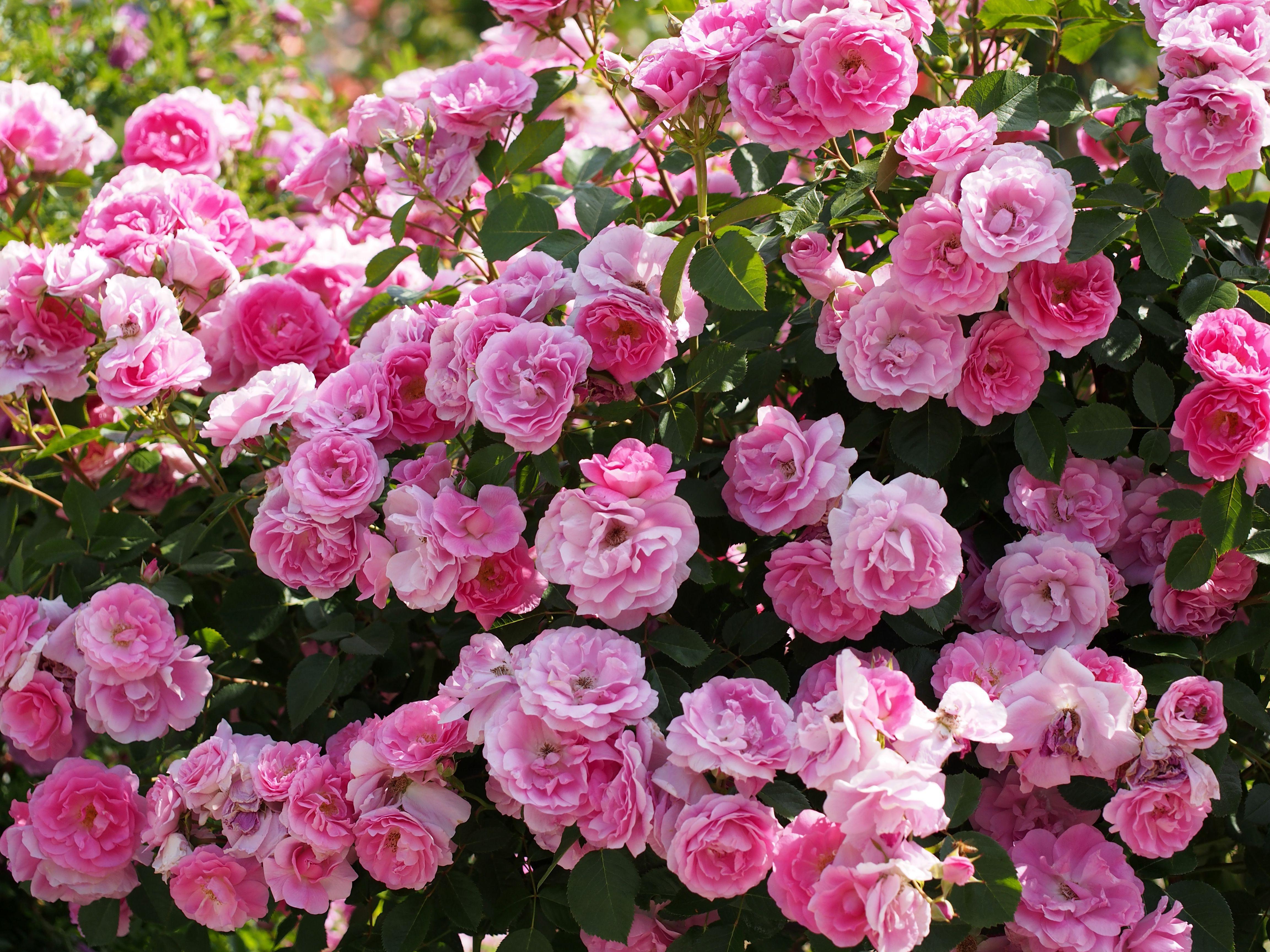 для изображений кусты роз названия и фото подборка фотографий