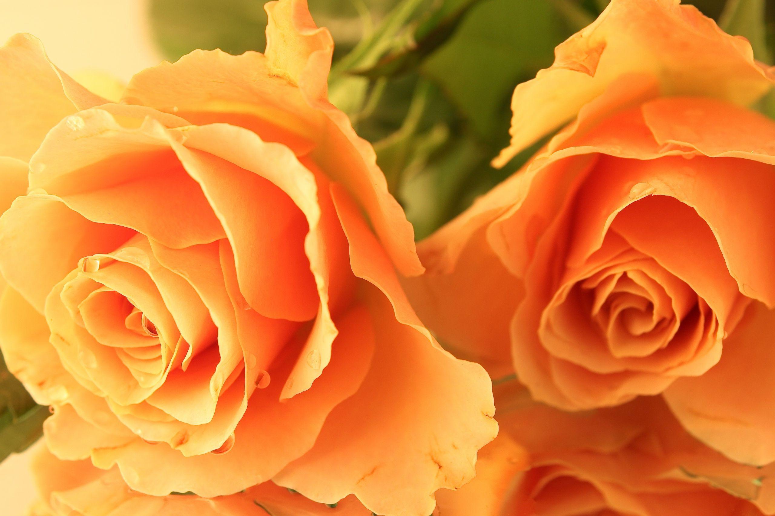 нужно оранжевая роза фото и открытки холодном климате