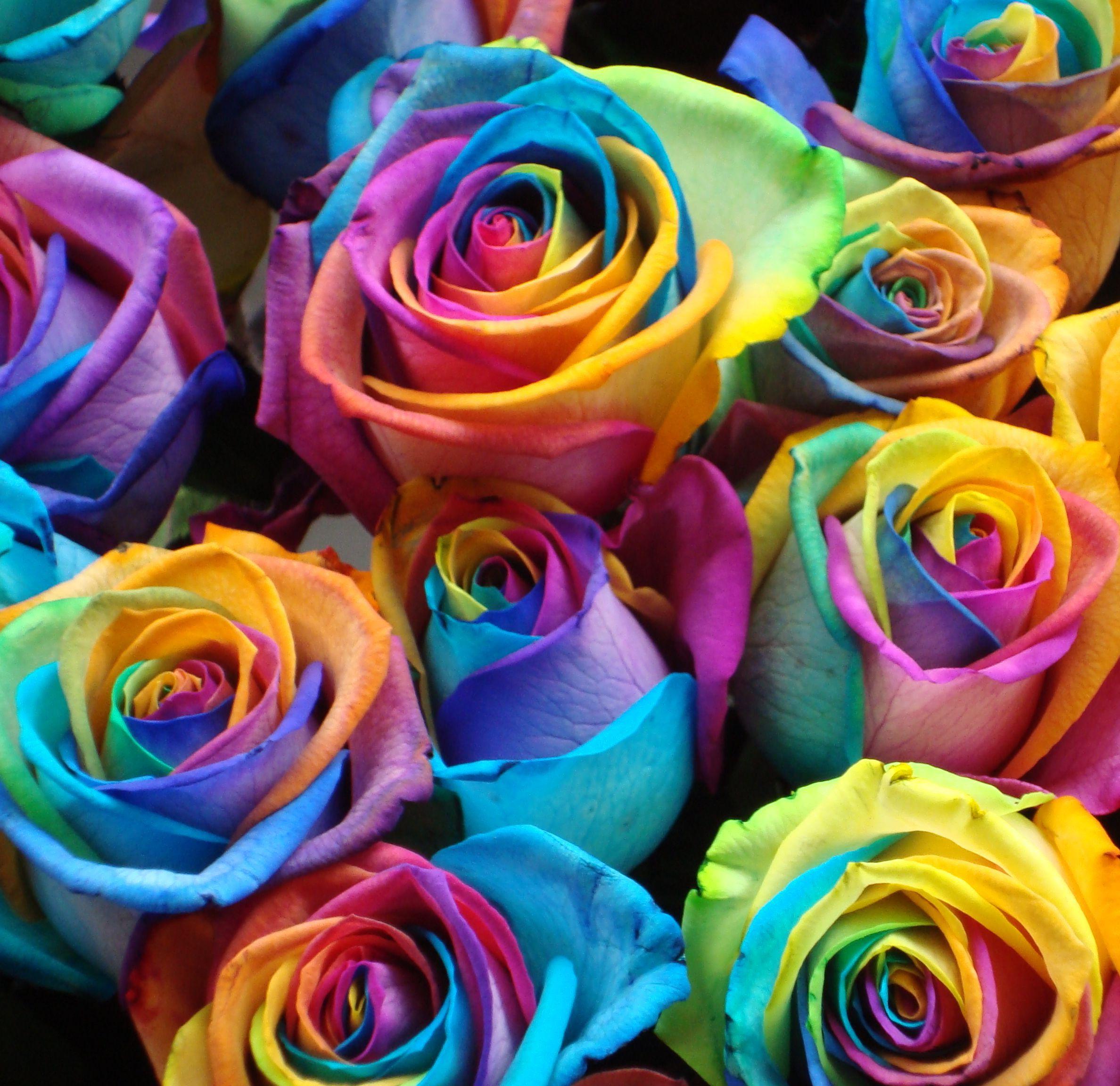 Розы цветные картинка