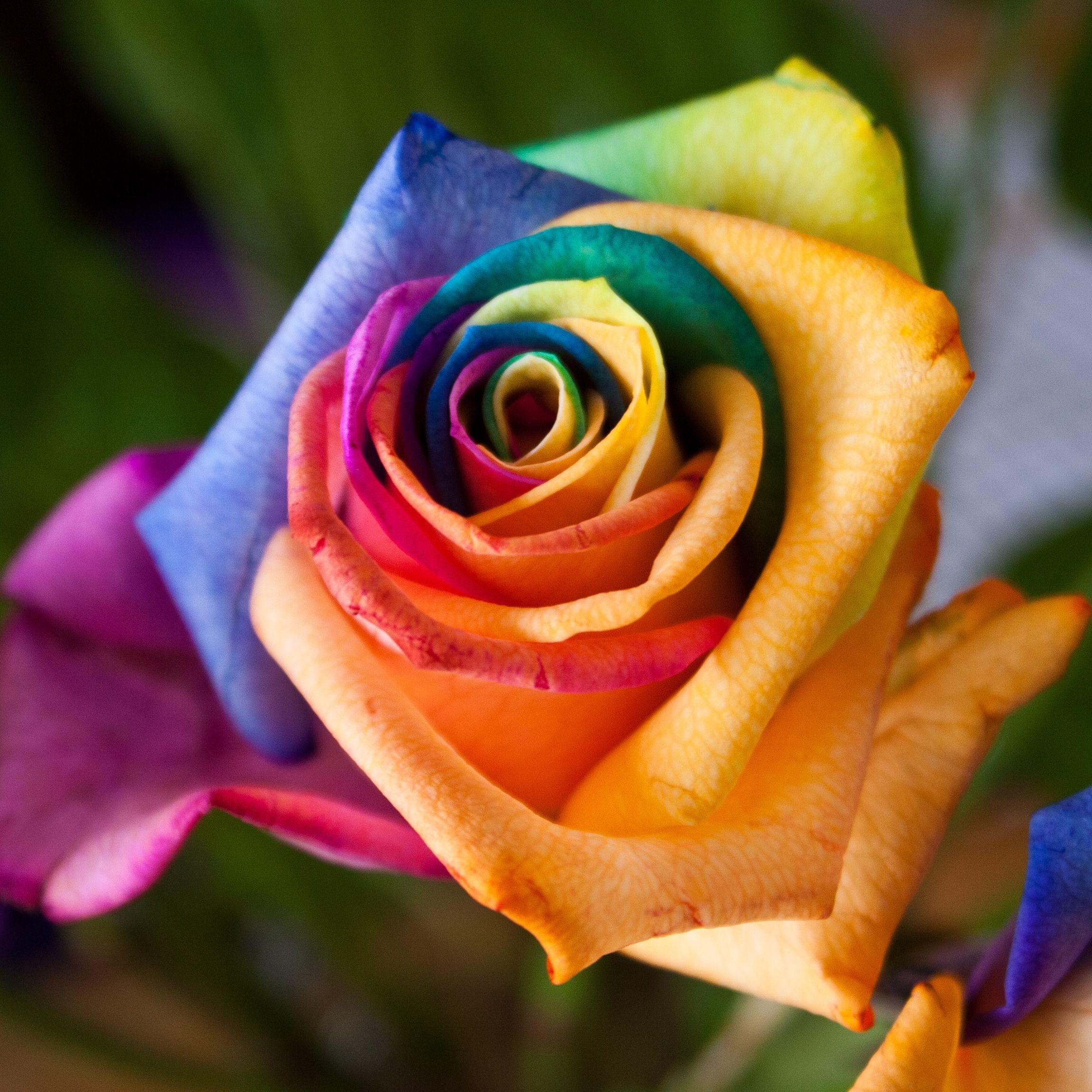 картинки розы цветной